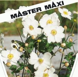 anemone japonica wei japan anemone winterharte. Black Bedroom Furniture Sets. Home Design Ideas