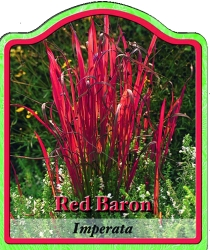imperata cylindrica 39 red baron 39 kaisergras winterharte. Black Bedroom Furniture Sets. Home Design Ideas