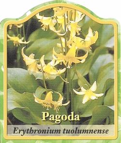 erythronium tuolumnense 39 pagoda 39 hundszahnlilie. Black Bedroom Furniture Sets. Home Design Ideas